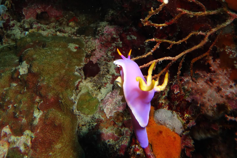 purple fish swimming