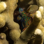 mandarin fish hiding in the reef