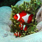 three Clown fish