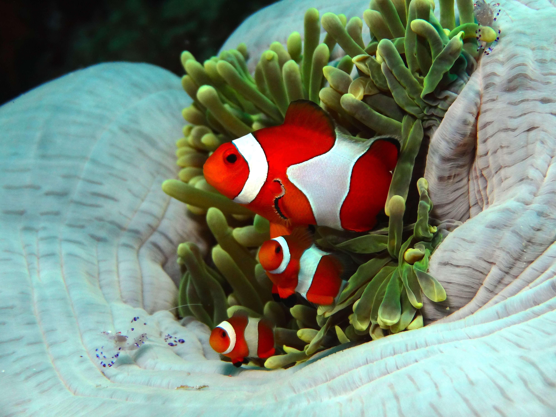 Taking Anemone Fish's Photograph