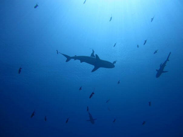 sharks and divers