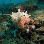 nudibranchs ocean