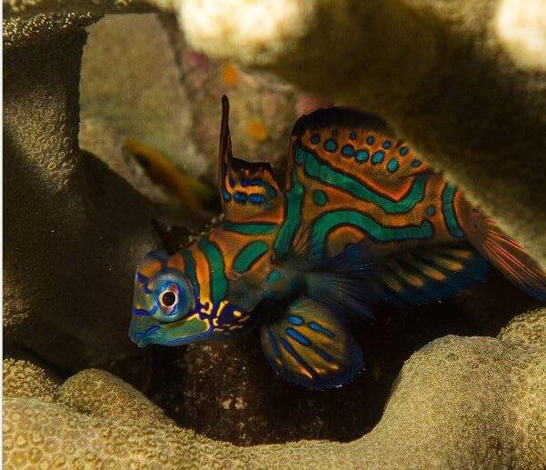 Mandarin Fish - Abyss Ocean World