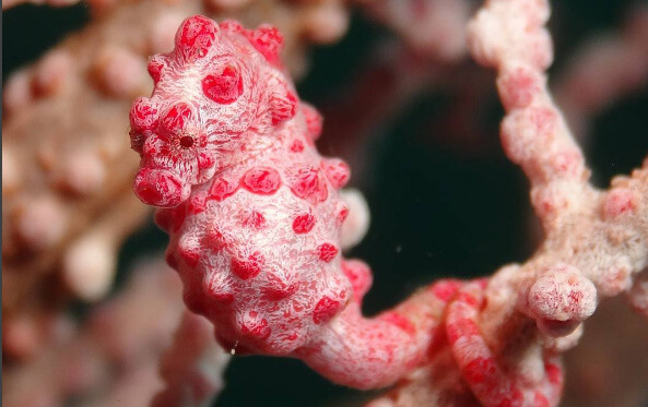 Diving in Bali and see pygmy seahorses