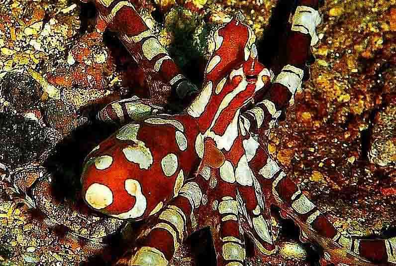 Wonderpus Octopus in Puri Jati Diving Site