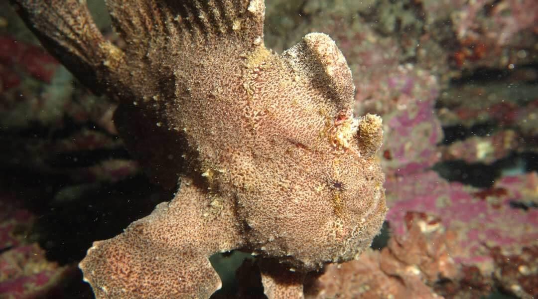 leaf-fish-Muck-Dive-at-Padang-Bay-divesite