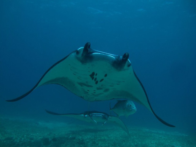 manta diving in Bali