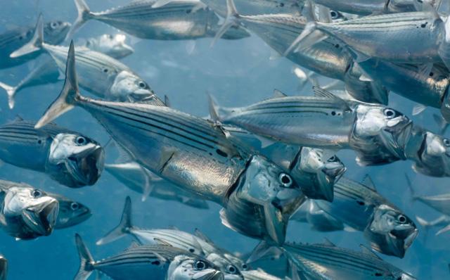 Mackerel scuba diving in bali