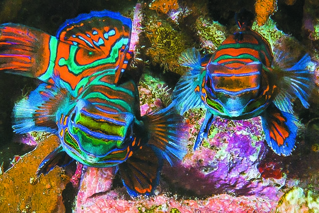The Mandarin fish – the eye catcher (if you are able to spot them ;-))