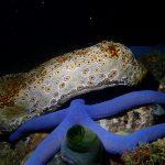 Sea cucumber - night dive
