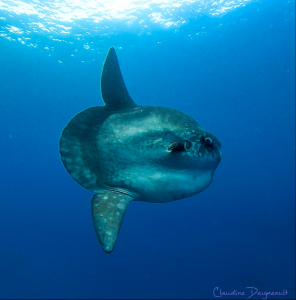 Ocean Sunfish with clear blue water