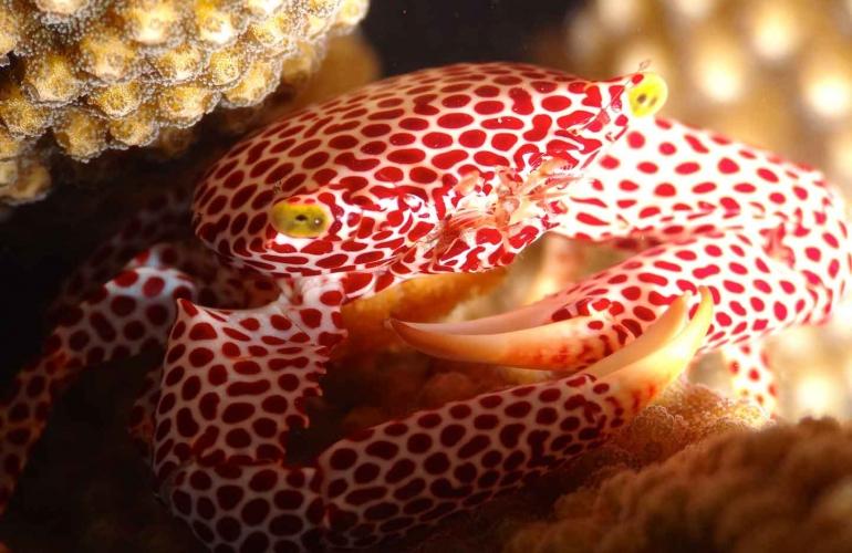 Crab Porcelain indonesia